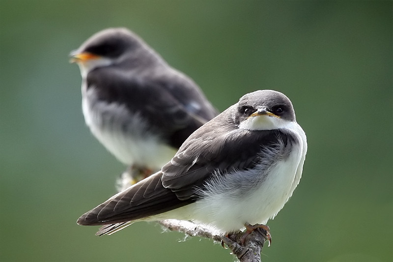 "<a href=""http://www.photographycorner.com/forum/showthread.php?t=100075"">Juvenile Tree Swallows</a> by <a href=""http://www.photographycorner.com/forum/member.php?u=20054"">Russ</a>"