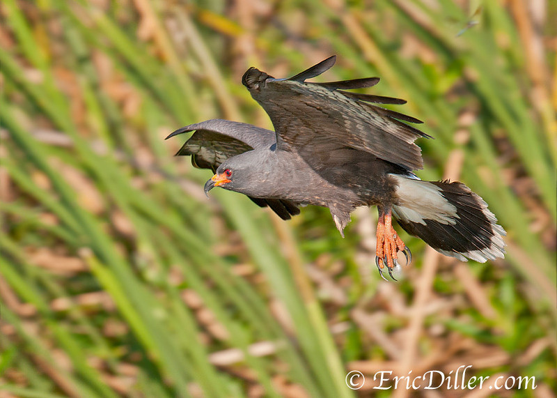 "<a href=""http://www.photographycorner.com/forum/showthread.php?t=103828"">Snail Kite</a> by <a href=""http://www.photographycorner.com/forum/member.php?u=17674"">Eric Diller</a>"