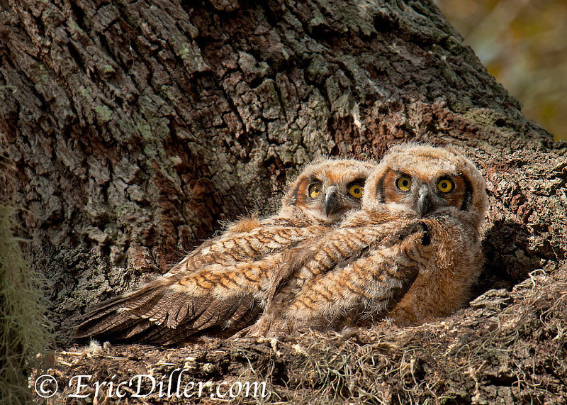 """<a href=""""http://www.photographycorner.com/forum/showthread.php?t=103529"""">Great Horned Owl Chicks</a> by <a href=""""http://www.photographycorner.com/forum/member.php?u=17674"""">Eric Diller</a>"""