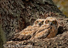"<a href=""http://www.photographycorner.com/forum/showthread.php?t=103529"">Great Horned Owl Chicks</a> by <a href=""http://www.photographycorner.com/forum/member.php?u=17674"">Eric Diller</a>"