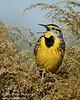 "<a href=""http://www.photographycorner.com/forum/showthread.php?t=105733"">Eastern Meadowlark</a> by <a href=""http://www.photographycorner.com/forum/member.php?u=17674"">Eric Diller</a>"