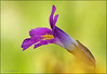 "<a href=""http://www.photographycorner.com/galleries/showphoto.php/photo/48055"">Lewis's Monkeyflower</a> by <a href=""http://www.photographycorner.com/forum/member.php?u=11348"">jerrywb</a>"