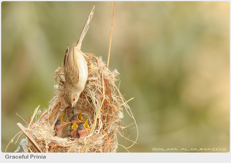 """<a href=""""http://www.photographycorner.com/forum/showthread.php?t=107095"""">Prinia</a> by <a href=""""http://www.photographycorner.com/forum/member.php?u=14514"""">salma al suwaidi</a>"""