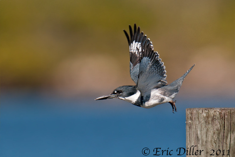 "<a href=""http://www.photographycorner.com/forum/showthread.php?t=102667"">Kingfisher on Take Off...</a> by <a href=""http://www.photographycorner.com/forum/member.php?u=17674"">Eric Diller</a>"