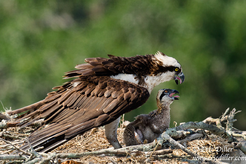 """<a href=""""http://www.photographycorner.com/forum/showthread.php?t=104904"""">Osprey Chick Update...</a> by <a href=""""http://www.photographycorner.com/forum/member.php?u=17674"""">Eric Diller</a>"""