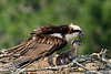 "<a href=""http://www.photographycorner.com/forum/showthread.php?t=104904"">Osprey Chick Update...</a> by <a href=""http://www.photographycorner.com/forum/member.php?u=17674"">Eric Diller</a>"