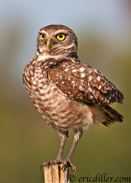 """<a href=""""http://www.photographycorner.com/forum/showthread.php?t=104553"""">Burrowing Owl Adult Female</a> by <a href=""""http://www.photographycorner.com/forum/member.php?u=17674"""">Eric Diller</a>"""