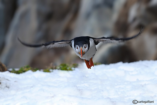 """<a href=""""http://www.photographycorner.com/forum/showthread.php?t=104365"""">Puffin in Flight</a> by <a href=""""http://www.photographycorner.com/forum/member.php?u=20004"""">carlogalliani</a>"""