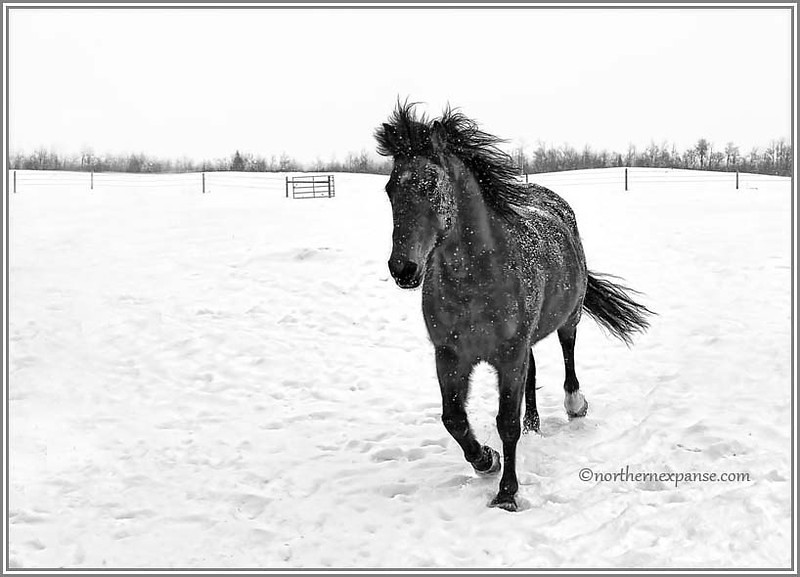 "<a href=""http://www.photographycorner.com/forum/showthread.php?t=103408"">Horse in Snow</a> by <a href=""http://www.photographycorner.com/forum/member.php?u=4337"">Gems</a>"