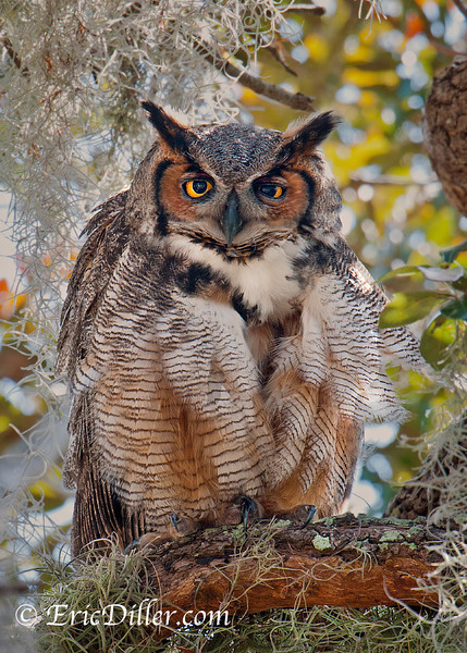 "<a href=""http://www.photographycorner.com/forum/showthread.php?t=103357"">Great Horned Owl</a> by <a href=""http://www.photographycorner.com/forum/member.php?u=17674"">Eric Diller</a>"
