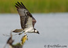 "<a href=""http://www.photographycorner.com/forum/showthread.php?t=103203"">Osprey Inflight with Fish...</a> by <a href=""http://www.photographycorner.com/forum/member.php?u=17674"">Eric Diller</a>"