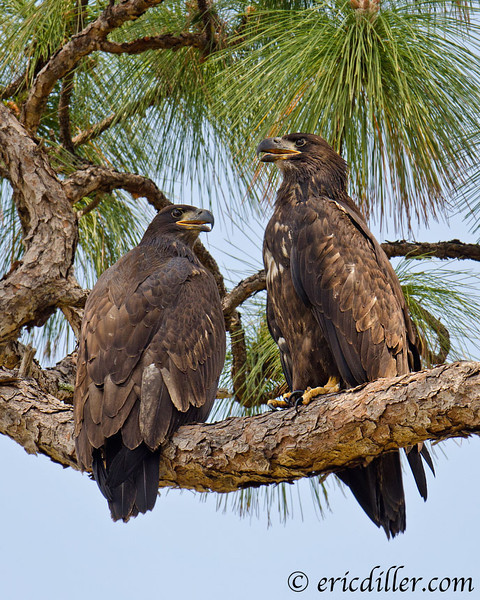"<a href=""http://www.photographycorner.com/forum/showthread.php?t=104155"">Sibling Eagles Together</a> by <a href=""http://www.photographycorner.com/forum/member.php?u=17674"">Eric Diller</a>"