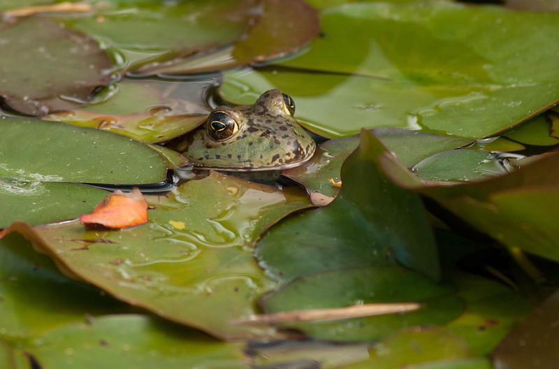 """<a href=""""http://www.photographycorner.com/forum/showthread.php?t=104163"""">In the Lily Pads</a> by <a href=""""http://www.photographycorner.com/forum/member.php?u=20109"""">agiledogs</a>   <font size=""""+2"""">WINNER of the <a href=""""http://www.photographycorner.com/photograph-of-the-month/2012/05/in-the-lily-pads"""">May 2012 Photograph of the Month</a> contest!</font>"""