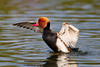 "<a href=""http://www.photographycorner.com/forum/showthread.php?t=104160"">Pochard Doing His Superman Impression</a> by <a href=""http://www.photographycorner.com/forum/member.php?u=10523"">Steelydan</a>"