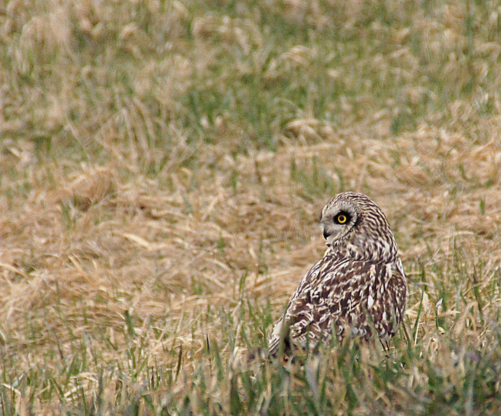 "<a href=""http://www.photographycorner.com/forum/showthread.php?t=104172"">Short Eared Owl</a> by <a href=""http://www.photographycorner.com/forum/member.php?u=13328"">chellezfotoz</a>"