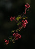 "<a href=""http://www.photographycorner.com/forum/showthread.php?t=104252"">Single Branch of Red Currant</a> by <a href=""http://www.photographycorner.com/forum/member.php?u=20054"">Russ</a>"