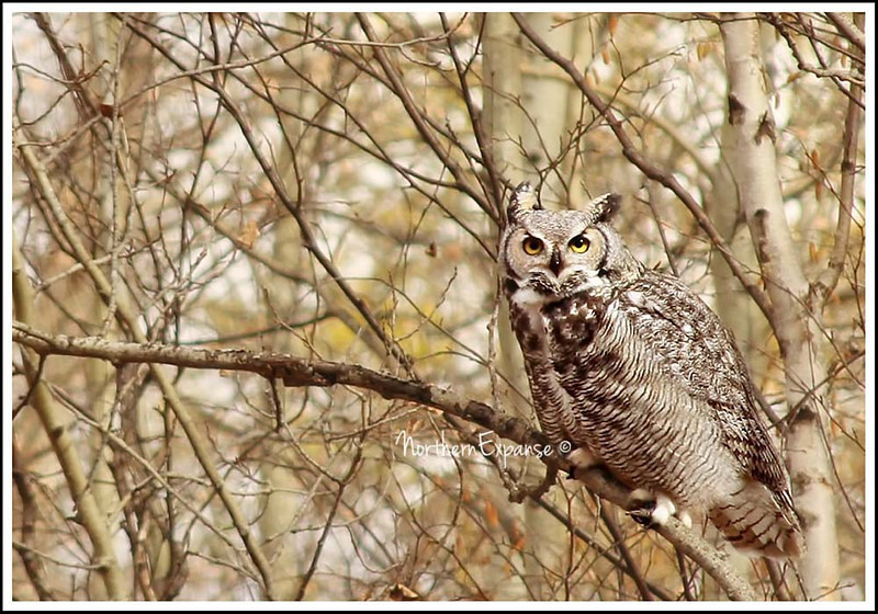 "<a href=""http://www.photographycorner.com/forum/showthread.php?t=106841"">Great Horned Own</a> by <a href=""http://www.photographycorner.com/forum/member.php?u=4337"">Gems</a>"