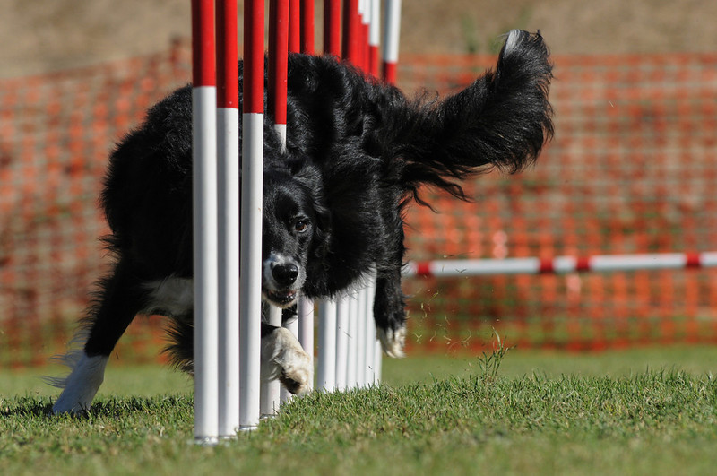 """<a href=""""http://www.photographycorner.com/forum/showthread.php?t=106370"""">More Weave Pole Shots</a> by <a href=""""http://www.photographycorner.com/forum/member.php?u=20109"""">agiledogs</a>"""