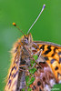 "<a href=""http://www.photographycorner.com/forum/showthread.php?t=106174"">Purple Bog Fritillary</a> by <a href=""http://www.photographycorner.com/forum/member.php?u=20004"">carlogalliani</a>"