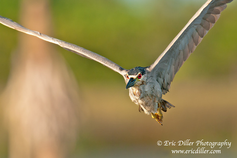 "<a href=""http://www.photographycorner.com/forum/showthread.php?t=106152"">Adult Night Crowned Heron</a> by <a href=""http://www.photographycorner.com/forum/member.php?u=17674"">Eric Diller</a>"