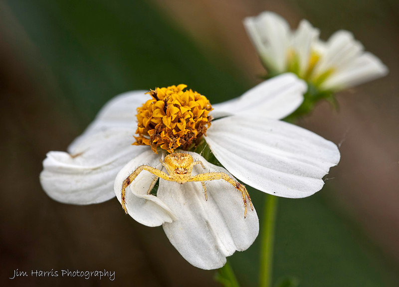 """<a href=""""http://www.photographycorner.com/forum/showthread.php?t=108860"""">Little Yellow Crab Spider</a> by <a href=""""http://www.photographycorner.com/forum/member.php?u=12688"""">jaharris1001</a>"""