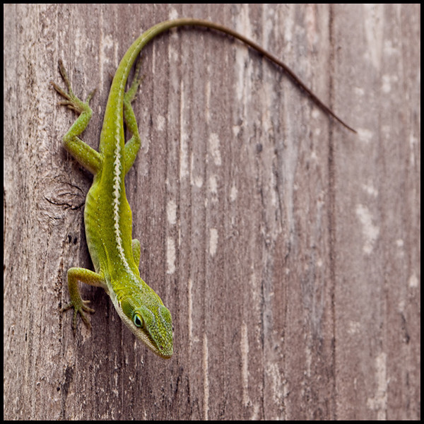 "<a href=""http://www.photographycorner.com/forum/showthread.php?t=108891"">Little Lizard</a> by <a href=""http://www.photographycorner.com/forum/member.php?u=20092"">tbarry</a>"