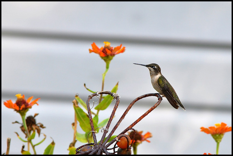 """<a href=""""http://www.photographycorner.com/forum/showthread.php?t=108703"""">Hummer</a> by <a href=""""http://www.photographycorner.com/forum/member.php?u=22146"""">suci</a>"""