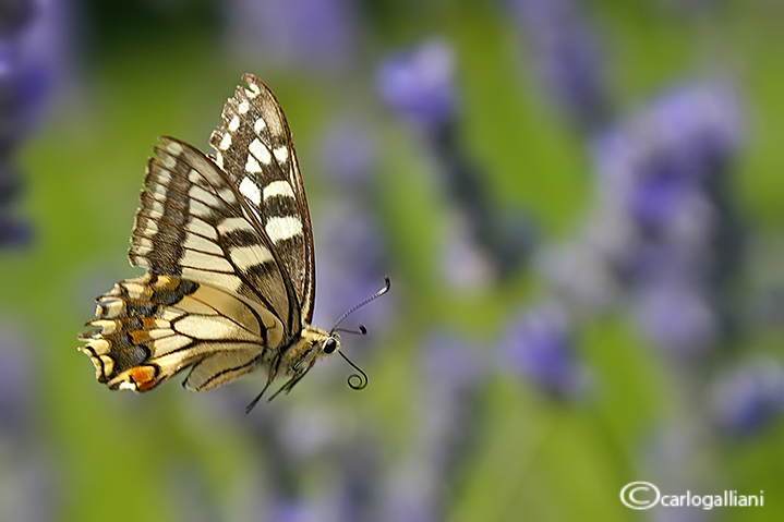 """<a href=""""http://www.photographycorner.com/forum/showthread.php?t=109935"""">Butterflies in Flight</a> by <a href=""""http://www.photographycorner.com/forum/member.php?u=20004"""">carlogalliani</a>"""
