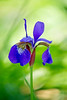 "<a href=""http://www.photographycorner.com/forum/showthread.php?t=109848"">Purple Blue Iris</a> by <a href=""http://www.photographycorner.com/forum/member.php?u=4591"">CornflakeGirl</a>"