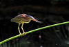 "<a href=""http://www.photographycorner.com/forum/showthread.php?t=110059"">Little Green Heron Snacking on a Dragonfly</a> by <a href=""http://www.photographycorner.com/forum/member.php?u=20092"">tbarry</a>"