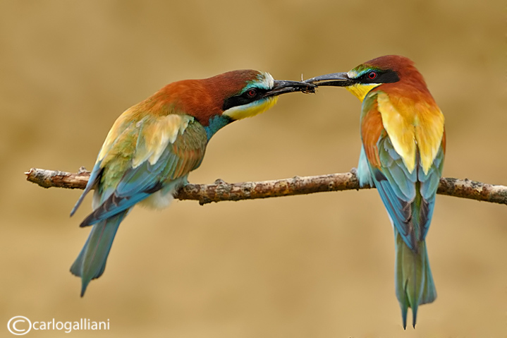 "<a href=""http://www.photographycorner.com/forum/showthread.php?t=109997"">European Bee Eater</a> by <a href=""http://www.photographycorner.com/forum/member.php?u=20004"">carlogalliani</a>"