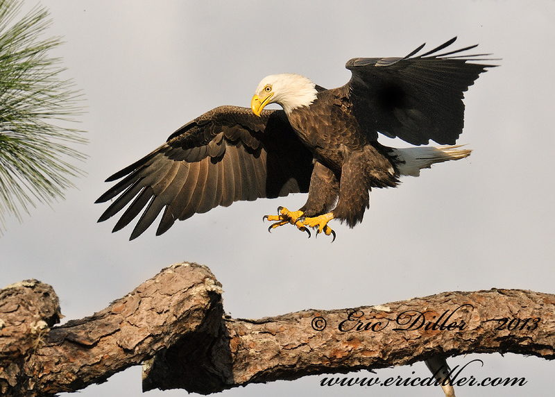 """<a href=""""http://www.photographycorner.com/forum/showthread.php?t=108197"""">Landing Eagle</a> by <a href=""""http://www.photographycorner.com/forum/member.php?u=17674"""">Eric Diller</a>"""