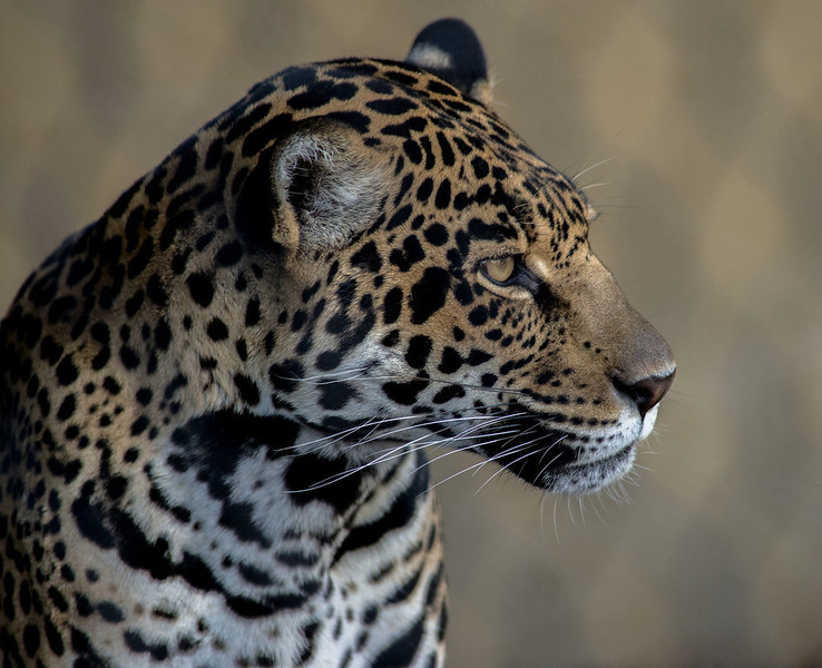 """<a href=""""http://www.photographycorner.com/forum/showthread.php?t=108274"""">Jaguar</a> by <a href=""""http://www.photographycorner.com/forum/member.php?u=20109"""">agiledogs</a>"""