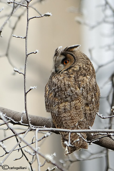 "<a href=""http://www.photographycorner.com/forum/showthread.php?t=107419"">Long Eared Owl</a> by <a href=""http://www.photographycorner.com/forum/member.php?u=20004"">carlogalliani</a>"