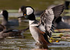 "<a href=""http://www.photographycorner.com/forum/showthread.php?t=107611"">Hooded Merganser</a> by <a href=""http://www.photographycorner.com/forum/member.php?u=17674"">Eric Diller</a>"