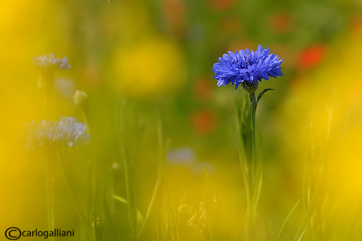"""<a href=""""http://www.photographycorner.com/forum/showthread.php?t=109609"""">Poppies and Cornflowers Fields</a> by <a href=""""http://www.photographycorner.com/forum/member.php?u=20004"""">carlogalliani</a>"""