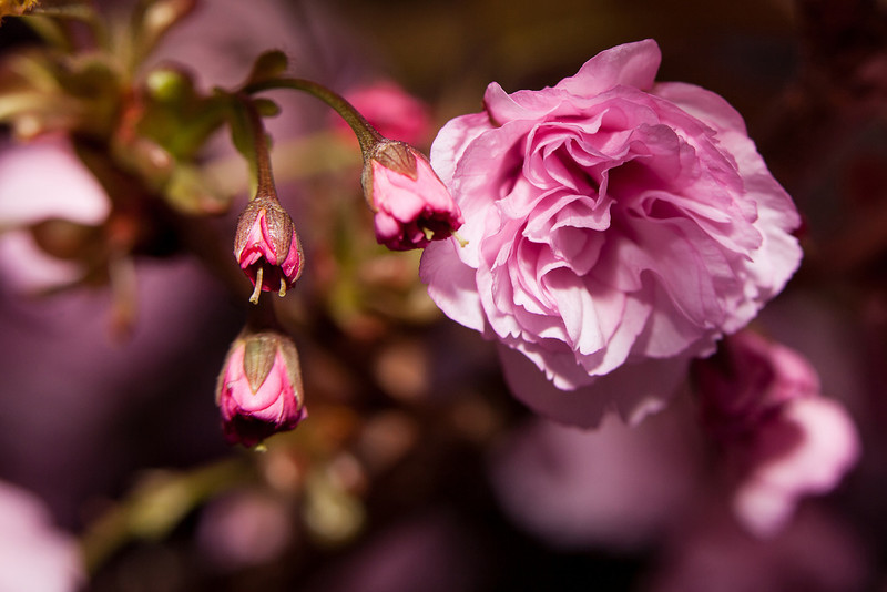 """<a href=""""http://www.photographycorner.com/forum/showthread.php?t=109372"""">Cherry Blossoms</a> by <a href=""""http://www.photographycorner.com/forum/member.php?u=20131"""">Sasquatch</a>"""
