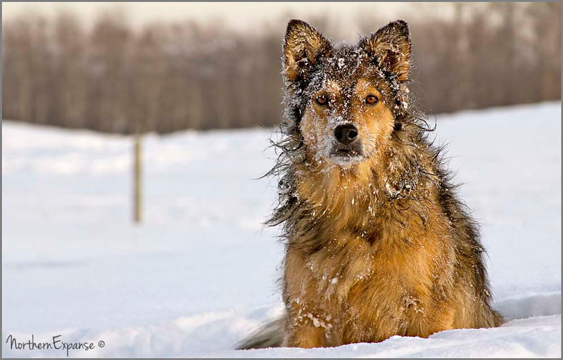 """<a href=""""http://www.photographycorner.com/forum/showthread.php?t=108493"""">Snow Dog</a> by <a href=""""http://www.photographycorner.com/forum/member.php?u=4337"""">Gems</a>   <font size=""""+2"""">WINNER of the <a href=""""http://www.photographycorner.com/photograph-of-the-month/2013/03/snow-dog"""">March 2013 Photograph of the Month</a> contest!</font>"""