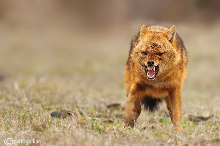 """<a href=""""http://www.photographycorner.com/forum/showthread.php?t=108936"""">Golden Jackal</a> by <a href=""""http://www.photographycorner.com/forum/member.php?u=20004"""">carlogalliani</a>"""
