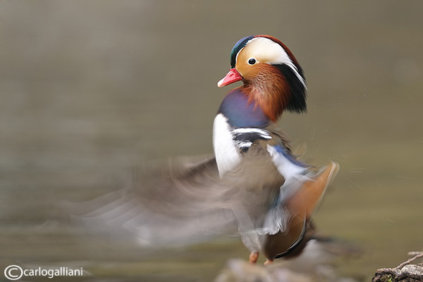 "<a href=""http://www.photographycorner.com/forum/showthread.php?t=108937"">Mandarin Duck</a> by <a href=""http://www.photographycorner.com/forum/member.php?u=20004"">carlogalliani</a>   <font size=""+2"">WINNER of the <a href=""http://www.photographycorner.com/photograph-of-the-month/2013/05/mandarin-duck"">May 2013 Photograph of the Month</a> Contest</font>"