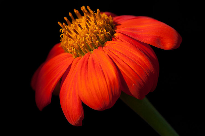 "<a href=""http://www.photographycorner.com/forum/showthread.php?t=110962"">Mexican Sunflower</a> by <a href=""http://www.photographycorner.com/forum/member.php?u=20091"">mrchile</a>"