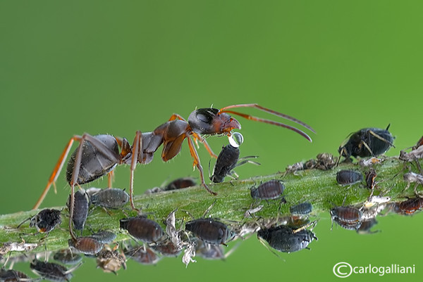 "<a href=""http://www.photographycorner.com/forum/showthread.php?t=111278"">Milking of Aphids</a> by <a href=""http://www.photographycorner.com/forum/member.php?u=20004"">carlogalliani</a>   <font size=""+2"">WINNER of the <a href=""http://www.photographycorner.com/photograph-of-the-month/2013/11/milking-of-aphids"">November 2013 Photograph of the Month</a> contest.</font>"