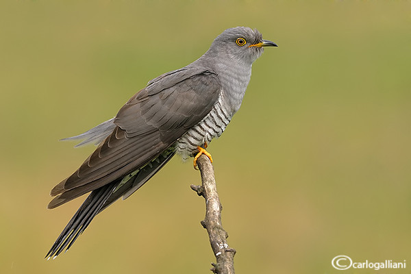 """<a href=""""http://www.photographycorner.com/forum/showthread.php?t=110218"""">Common Cuckoo</a> by <a href=""""http://www.photographycorner.com/forum/member.php?u=20004"""">carlogalliani</a>"""