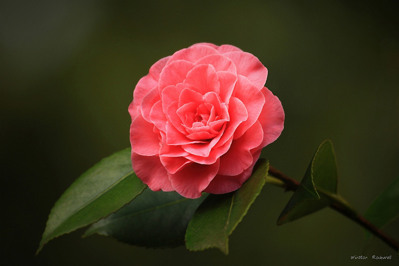 "<a href=""http://www.photographycorner.com/forum/showthread.php?t=114761"">Camellia</a> by <a href=""http://www.photographycorner.com/forum/member.php?u=337"">squirl033</a>"