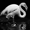 The Flamingo by Kiwiboy09