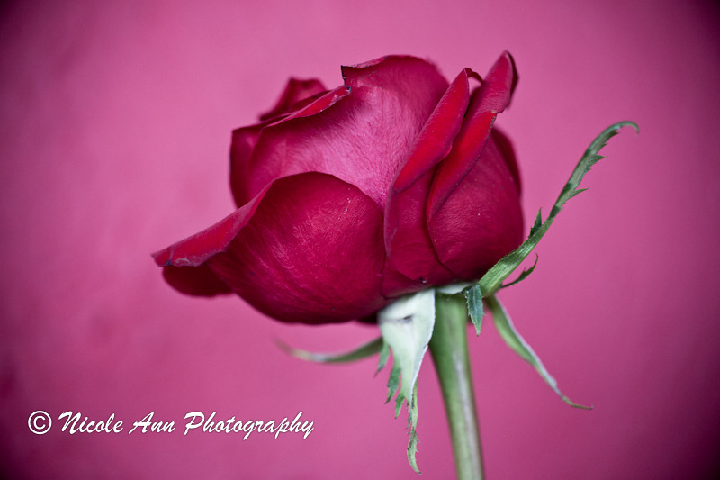 "<a href=""http://www.photographycorner.com/forum/showthread.php?t=113093"">Rose</a> by <a href=""http://www.photographycorner.com/forum/member.php?u=4591"">CornflakeGirl</a>"
