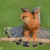 Red-Footed Falcon<br /> by carlogalliani