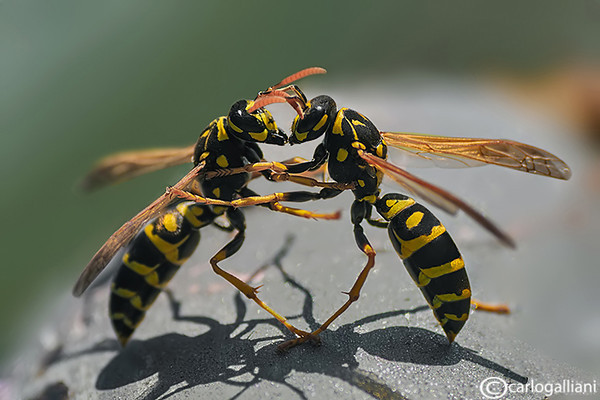 "<a href=""http://www.photographycorner.com/forum/showthread.php?t=114127"">Wasp and Bee</a> by <a href=""http://www.photographycorner.com/forum/member.php?u=20004"">carlogalliani</a>"