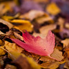 Fall Maple Leaves<br /> by CornFlakeGirl