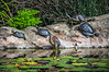 Four Turtles and Green Heron by Agiledogs